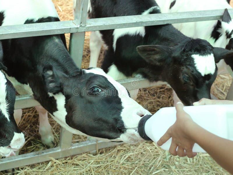 Veau orphelin de alimentation de bébé image libre de droits