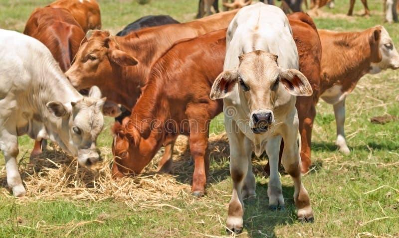 Veaux australiens de jeunes de cheptels bovins photo stock