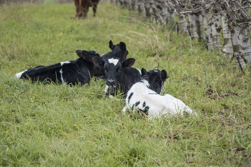 Veaux de frison du Holstein se couchant photographie stock libre de droits