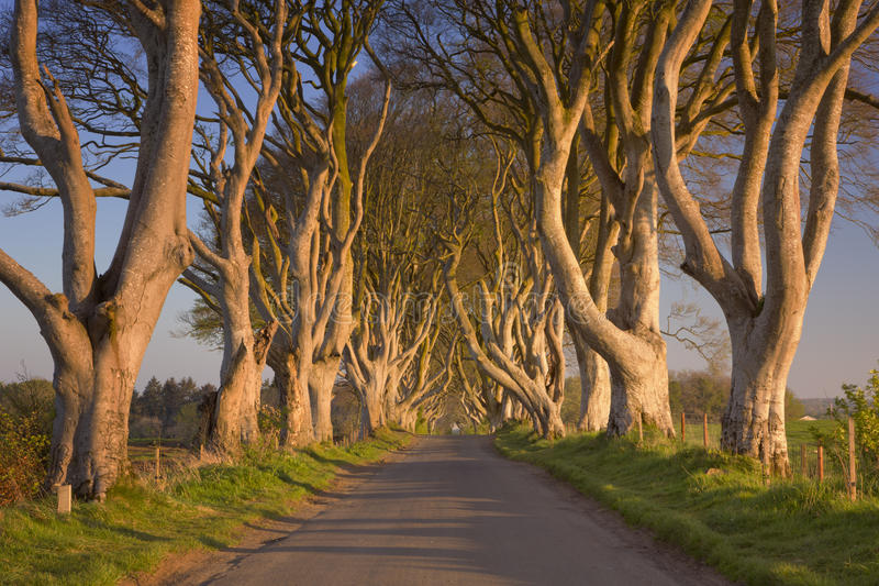 Vecchi alberi alle barriere scure in Irlanda del Nord immagini stock