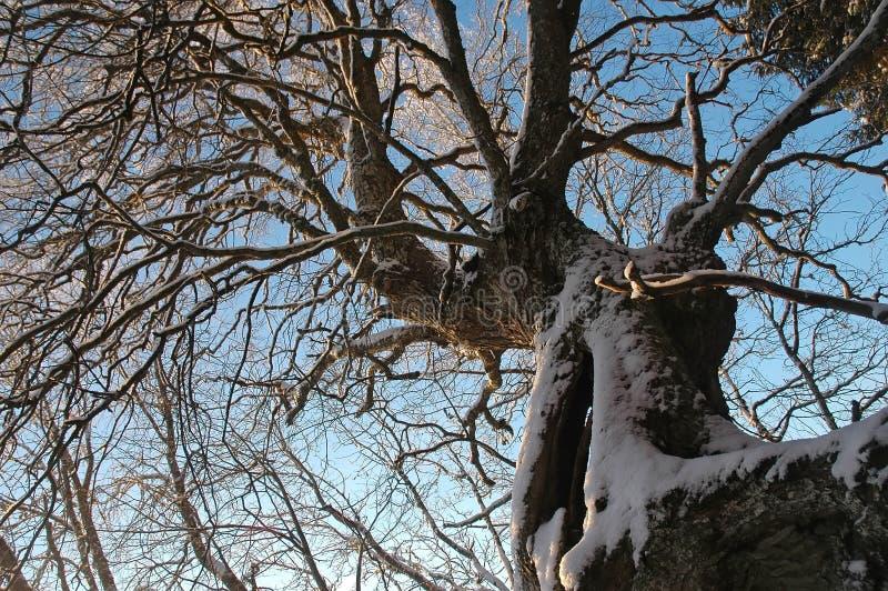 Vecchi alberi bizzarri immagini stock libere da diritti
