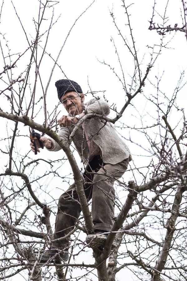 Vecchi alberi della guarnizione dell'agricoltore nel suo frutteto immagini stock libere da diritti