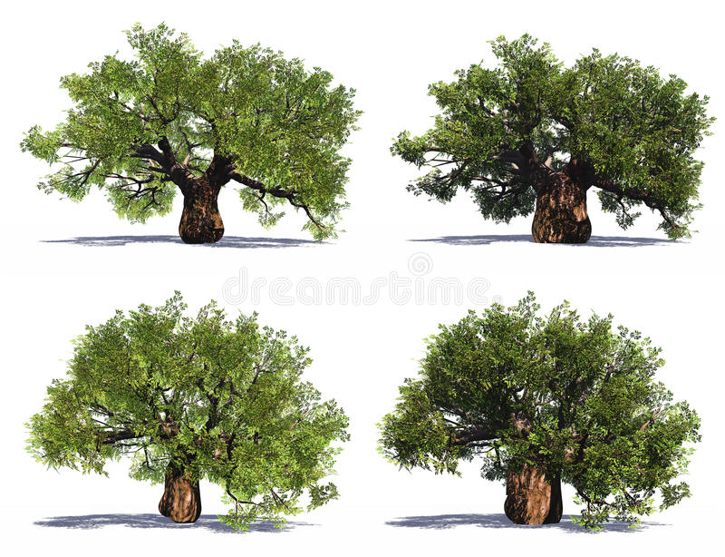 Vecchi alberi di alta risoluzione del baobab immagini stock