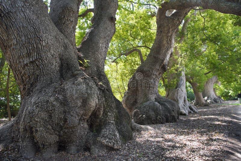 Vecchi alberi di canfora immagine stock libera da diritti