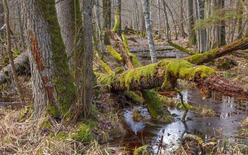 Vecchi alberi di ontano e quello rotto sopra acqua immagini stock