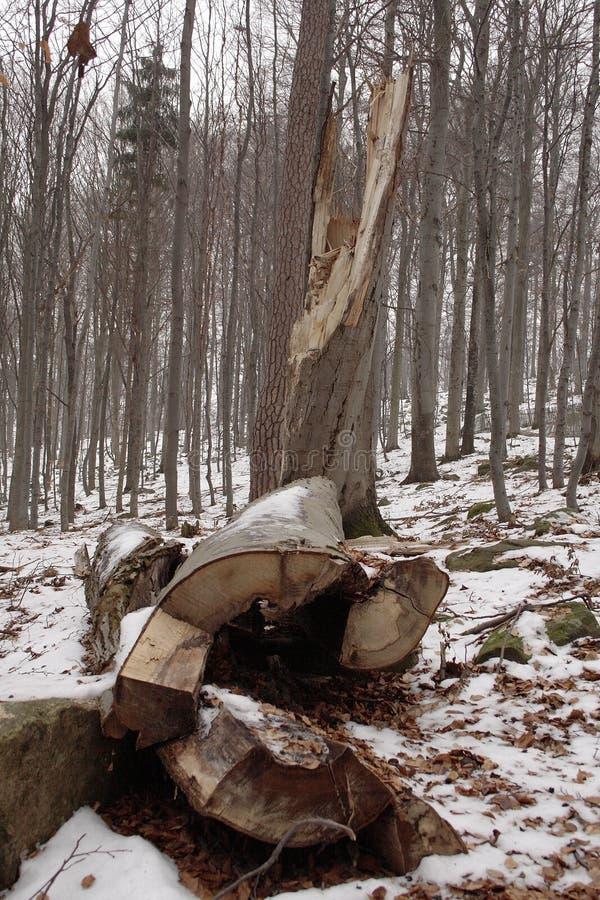 Vecchi alberi forestali rotti nell'inverno fotografie stock libere da diritti
