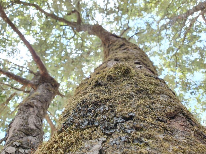 Vecchi alberi muscosi nella fine di primo mattino del foresr su della corteccia di un albero coperto in muschio verde fotografia stock