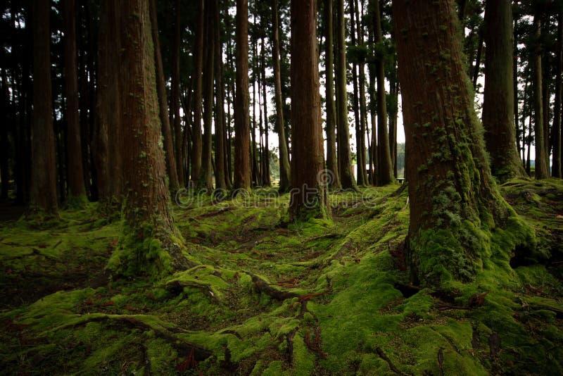 Vecchi alberi in una foresta con il pavimento coperto di muschio fotografie stock