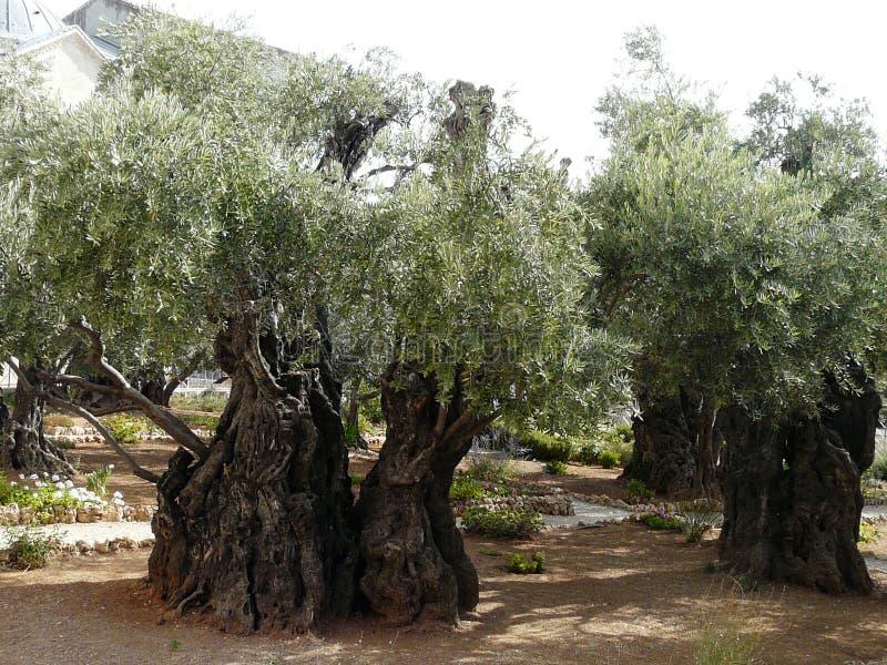 Vecchi di olivo nel giardino di Gethsemane, Gerusalemme, Israele fotografie stock libere da diritti