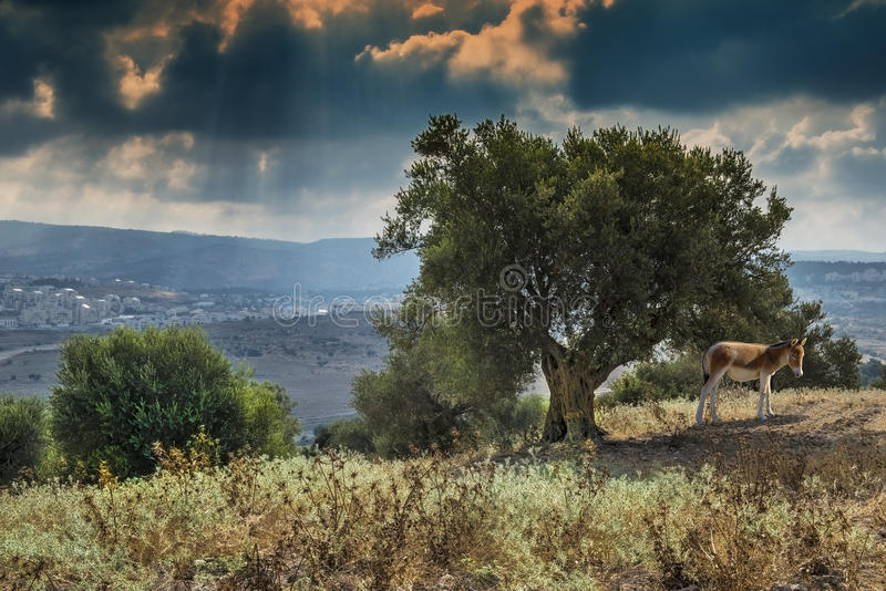 Vecchi di olivo vicino a Gerusalemme fotografia stock libera da diritti