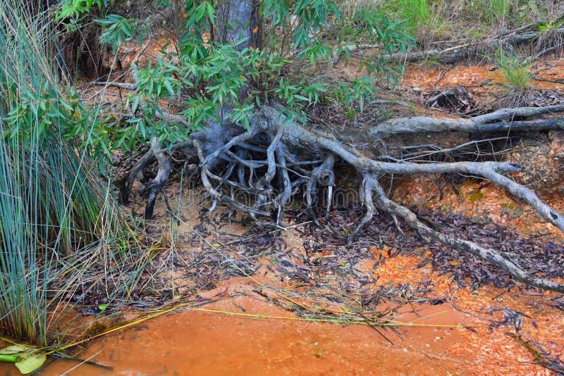 Vecchi radice e lago dell'albero immagine stock