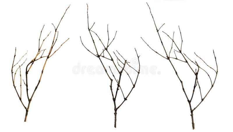 Vecchi rami asciutti mora, malati e ramoscelli, isolat di legno del pacco fotografia stock