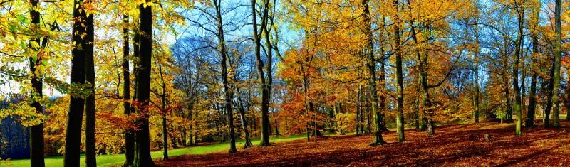 Vecchi vasti della foglia alberi di faggio probabilmente nel parco a luce del giorno di pomeriggio di autunno fotografia stock