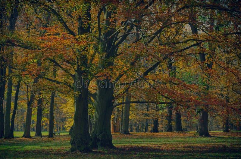 Vecchi vasti della foglia alberi di faggio probabilmente nel parco a luce del giorno di pomeriggio di autunno fotografie stock
