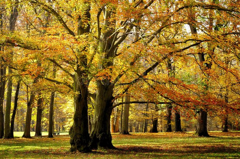 Vecchi vasti della foglia alberi di faggio probabilmente nel parco a luce del giorno di pomeriggio di autunno immagini stock