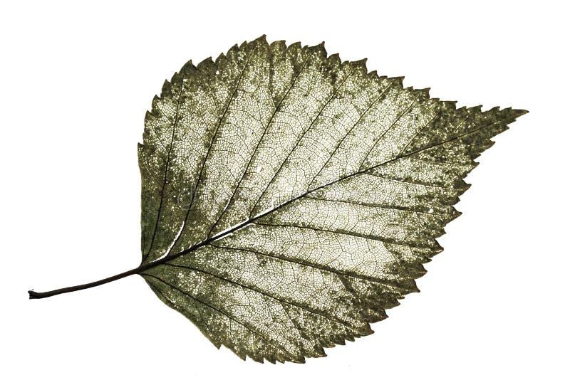 Vecchia betulla mezzo decomposta trasparente della foglia con il modello a filigrana sopra fotografia stock libera da diritti