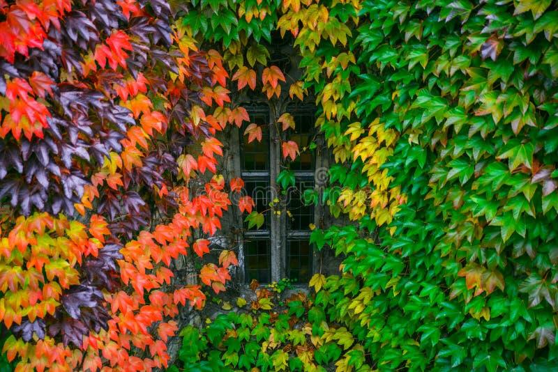 Vecchia casa accogliente nello stile europeo foglie dell'edera intorno  fotografie stock