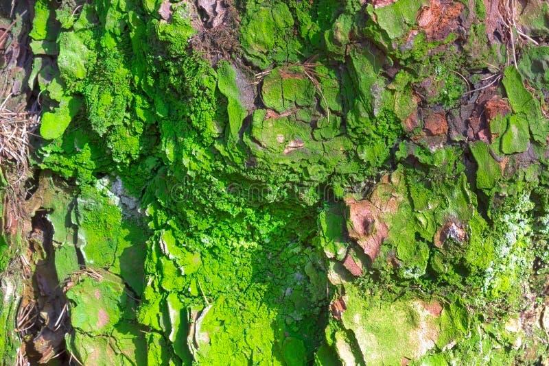 Vecchia corteccia abrasiva del pino con muschio verde, struttura di legno della foresta Inverno, autunno, estate o tempo di molla immagini stock libere da diritti
