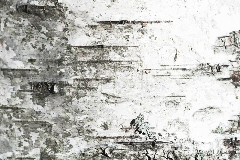 Vecchia corteccia di albero bianca della betulla closeup fotografie stock