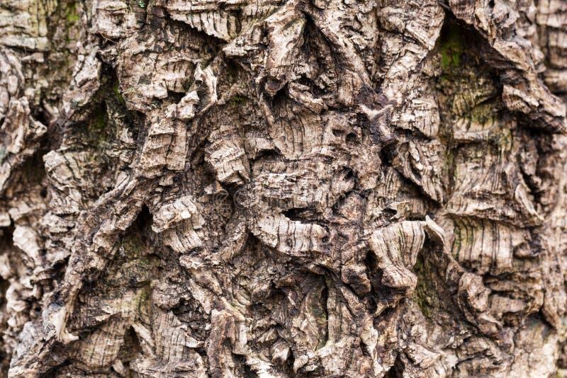 Vecchia corteccia di albero strutturata Superficie curvata e ironica Struttura di legno stagionata ed invecchiata con il solco pr fotografia stock libera da diritti