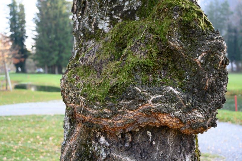 Vecchia corteccia di betulla con muschio fotografie stock libere da diritti