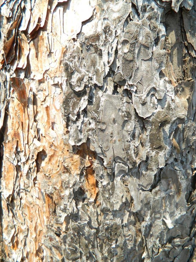 Vecchia fine di struttura della corteccia di pino su immagini stock libere da diritti