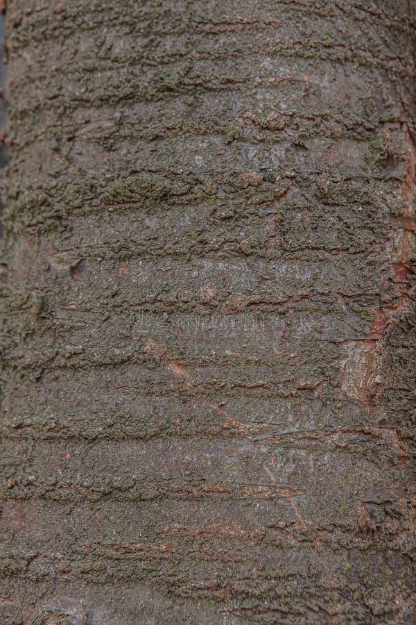 Vecchia fine misera di legno naturale del fondo su, vecchio fondo di legno, struttura di uso del legno della corteccia come sfond fotografia stock