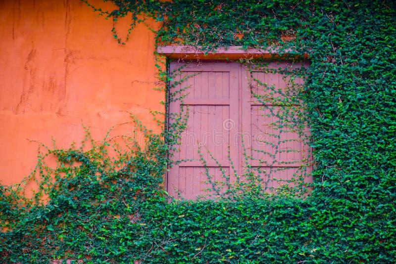 Vecchia finestra di legno e parete arancio invase con l'edera fotografia stock libera da diritti