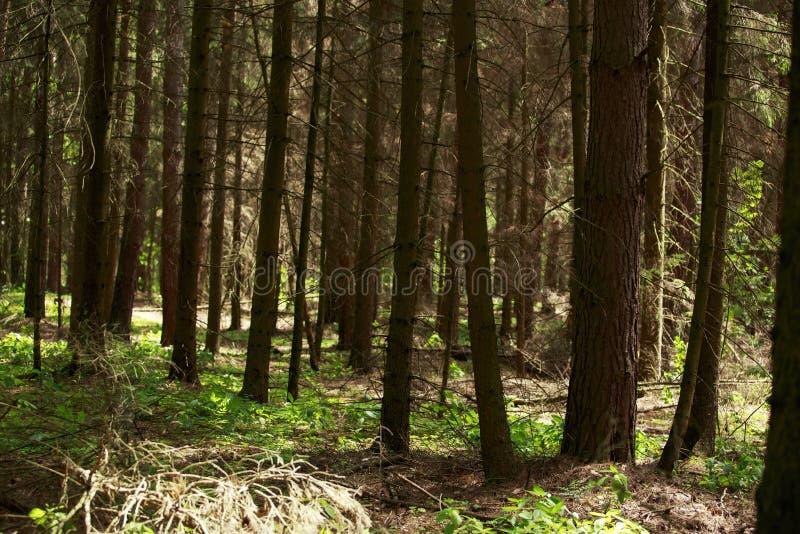Vecchia foresta attillata fotografie stock libere da diritti