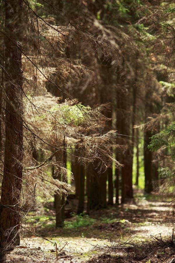 Vecchia foresta attillata immagini stock libere da diritti