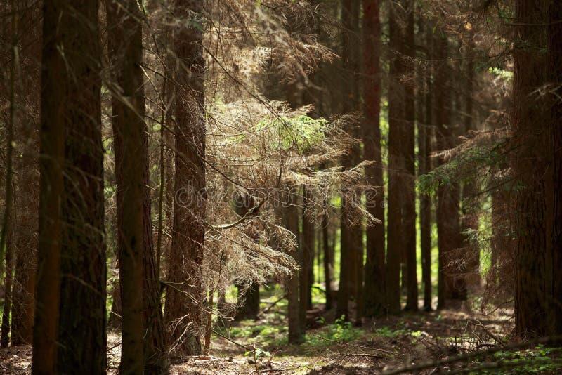 Vecchia foresta attillata fotografie stock