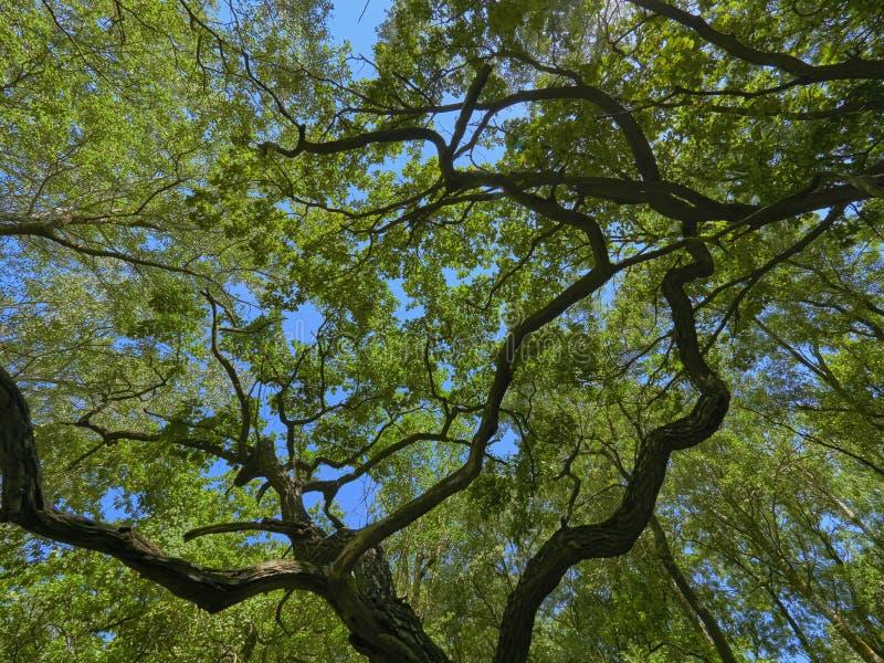 Vecchia foresta della quercia di Letea, attrazione turistica stupefacente nel delta di Danubio, Romania immagini stock
