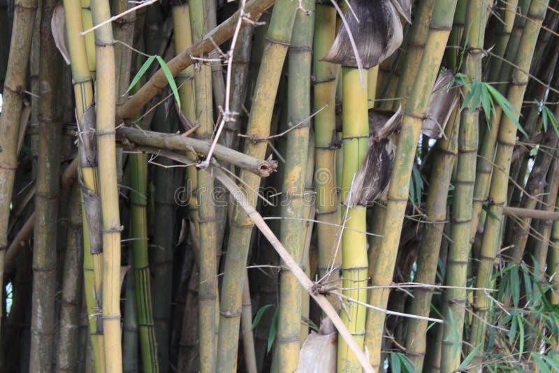 Vecchia foresta di bambù immagine stock