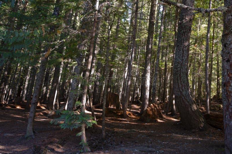 Vecchia foresta di conifere del relitto con gli alberi pendenti fotografia stock libera da diritti