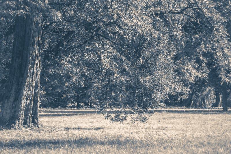 Vecchia foto dell'annata Radura dei tronchi degli alberi forestali del parco fotografia stock