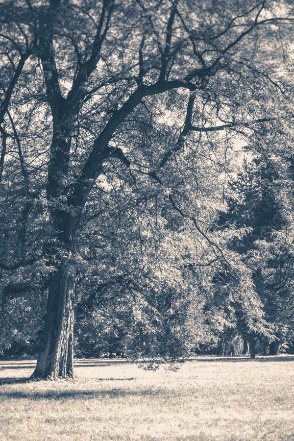 Vecchia foto dell'annata Radura dei tronchi degli alberi forestali del parco immagine stock libera da diritti