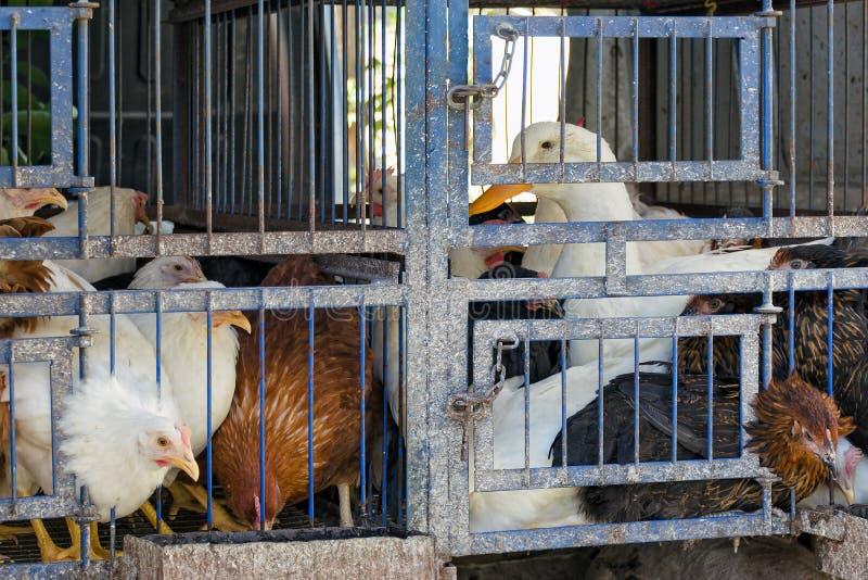 Vecchia gabbia con gli uccelli maturi - polli ed anatra Trasporto o manutenzione del pollame dell'azienda agricola immagini stock