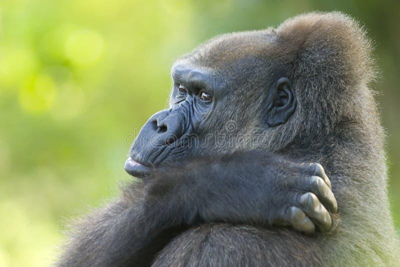 Vecchia gorilla fotografia stock libera da diritti
