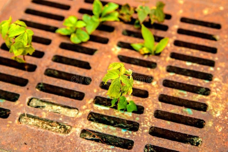 Vecchia griglia arrugginita di drenaggio con le giovani piante verdi che crescono da parte a parte fotografie stock libere da diritti