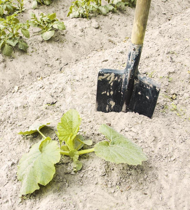 Vecchia pala per la scavatura del suolo nell'orto sulla f fotografia stock