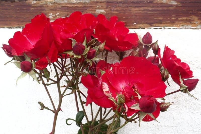 Vecchia parete bianca delle rose selvatiche rosse immagini stock