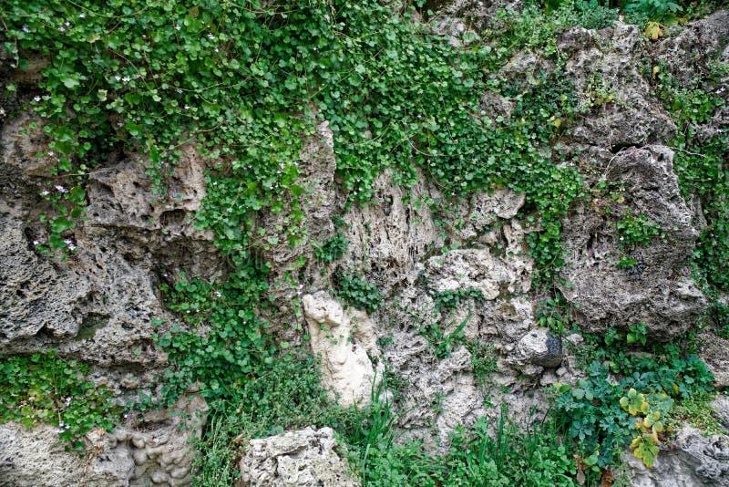 Vecchia parete di pietra con l'edera così backgroundgreen muschio sulla parete fotografie stock libere da diritti