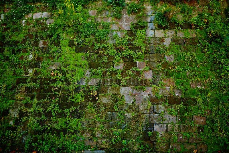 Vecchia parete di pietra grigia con struttura verde del muschio fotografia stock libera da diritti