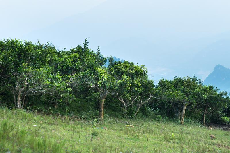 Vecchia piantagione di tè verde invecchiata in Suoi Giang, Vietnam fotografie stock libere da diritti