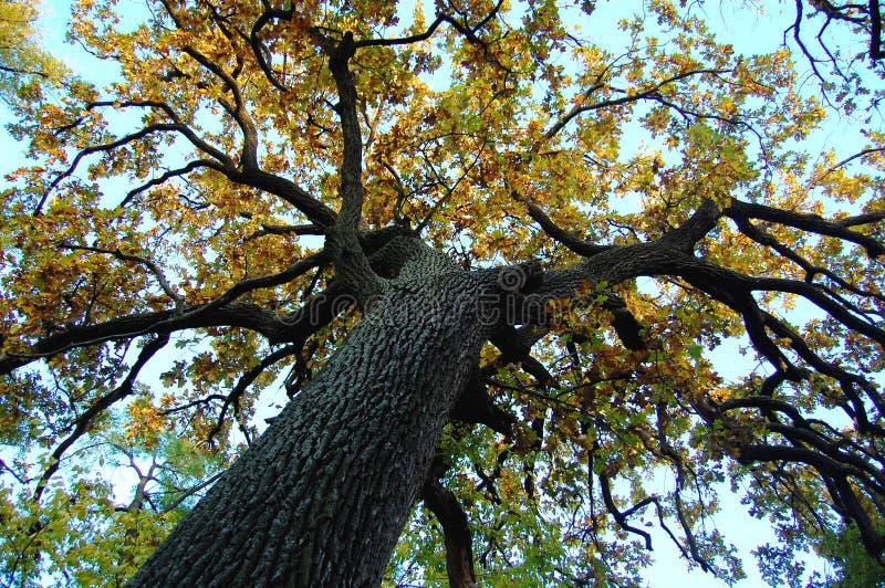 Vecchia quercia con un tronco potente ad un giorno di autunno Punto di fucilazione basso fotografia stock libera da diritti