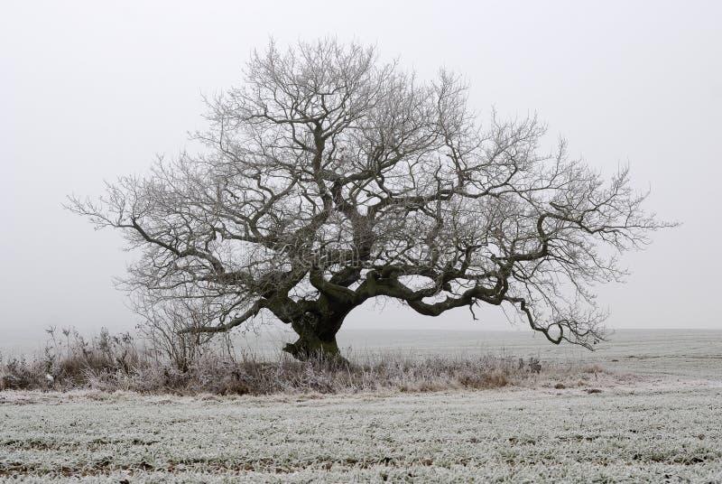 Vecchia quercia in nebbia fotografie stock libere da diritti