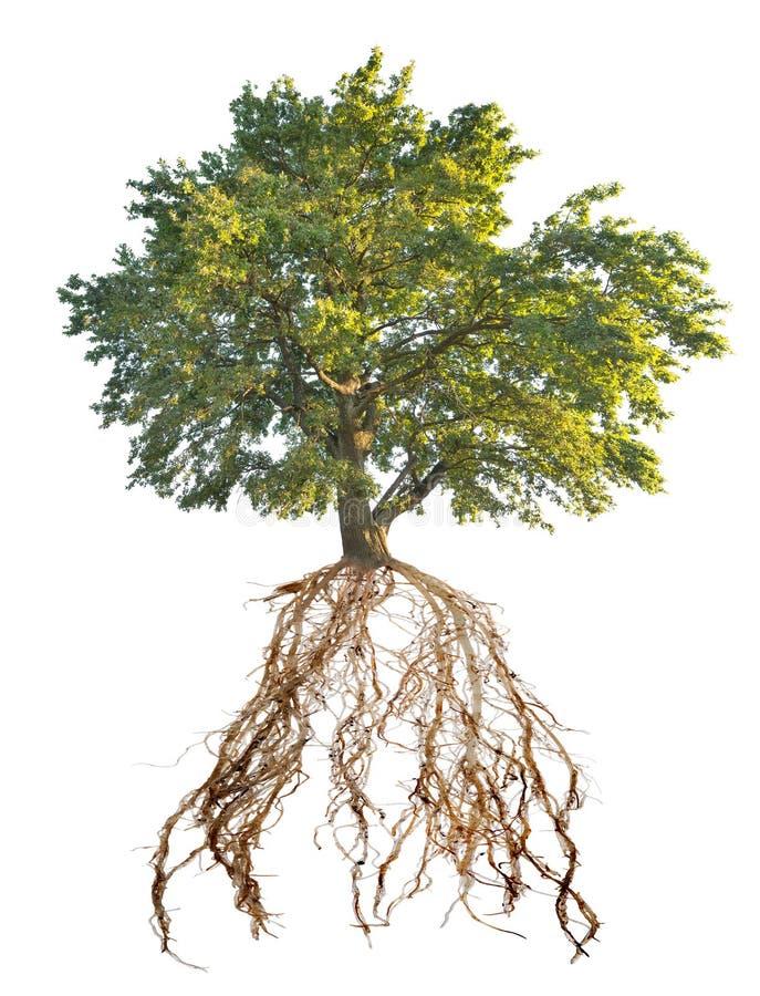 Vecchia quercia verde con la grande radice immagini stock libere da diritti