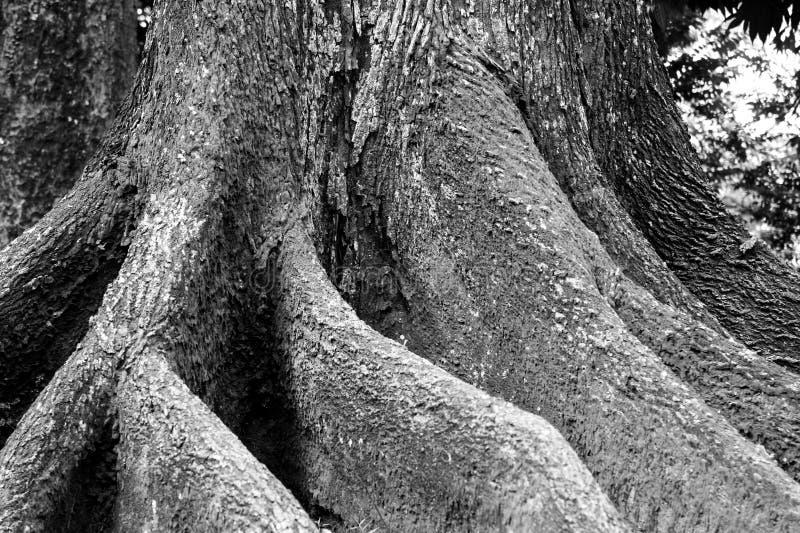 Vecchia radice dell'albero fotografia stock