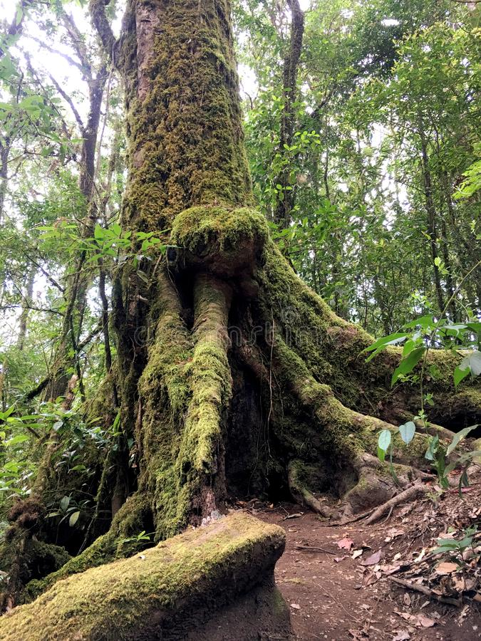Vecchia radice dell'albero con il lichene ed il muschio nella foresta fotografia stock libera da diritti