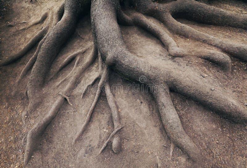 Vecchia radice dell'albero, in foresta. Paesaggio immagini stock